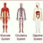 Effects of Massage Therapy on Body Systems: Effects of Massage on Muscular, Nervous, Circulatory, Skeletal, Digestive Systems
